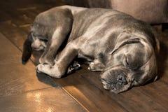 Grå stor hundavelmastiff, inomhus arkivfoto