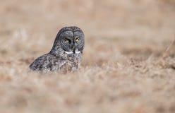 grå stor owl Royaltyfria Bilder