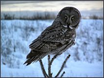 grå stor owl Arkivbild