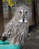 grå stor owl Arkivbilder