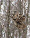 grå stor owl Fotografering för Bildbyråer
