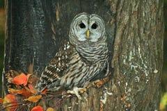 grå stor owl Royaltyfria Foton
