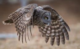 grå stor owl royaltyfri fotografi