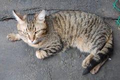 Grå strimmig kattkatt Royaltyfri Foto