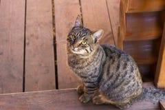Grå strimmig kattkatt Royaltyfria Bilder
