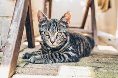 Grå strimmig kattkatt med intensiva guld- ögon Arkivbild