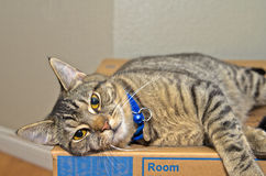 Grå strimmig kattkatt som kopplar av på kartongen Royaltyfria Foton