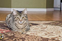 Grå strimmig kattkatt som lägger på matta Arkivfoto