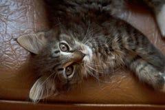 Grå strimmig kattkatt som ligger på stol från över arkivbilder