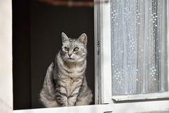 Grå strimmig kattkatt som ut ser fönstret Royaltyfri Foto