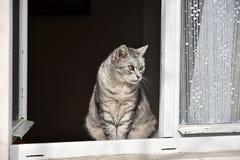 Grå strimmig kattkatt som ut ser fönstret Royaltyfri Fotografi