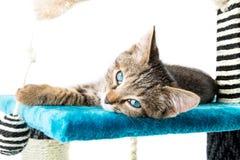 Grå strimmig kattkattunge med blåa ögon som ligger på blå flott mjuk surfac royaltyfri fotografi
