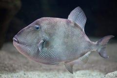 Grå triggerfish & x28; Balistescapriscus& x29; Royaltyfri Bild