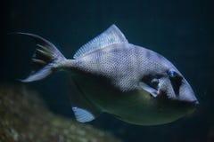 Grå triggerfish (Balistescapriscusen) Arkivfoto