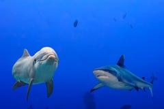 Grå undervattens- haj och delfin fotografering för bildbyråer