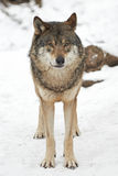 Grå varg (Canislupus) Royaltyfri Foto