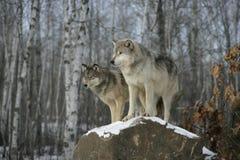 Grå varg, Canislupus Royaltyfria Bilder