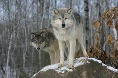 Grå varg, Canislupus Royaltyfria Foton