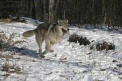 Grå varg, Canislupus Arkivbild