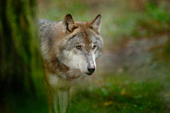 Grå varg, Canislupus, i den gröna ståenden för sidaskogdetalj av vargen i skogdjurlivplatsen från nord av Europa Var royaltyfri bild