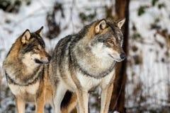 Grå varg, Canislupus, två varger som står i en snöig vinterskog Arkivbild