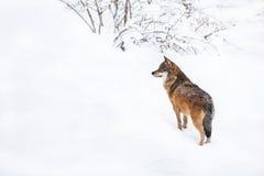 Grå varg för stående i snön Arkivbilder