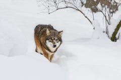 Grå varg för stående i snön Arkivfoto