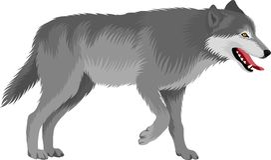 Grå varg för vektor vektor illustrationer