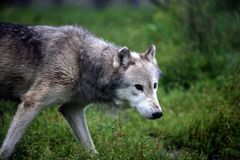 Grå varg som går i ett öppet fält Royaltyfria Foton