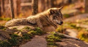 Grå varg som tänker av en trevlig lunch i Quebec, Kanada Royaltyfria Foton