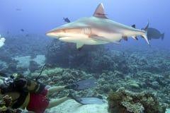 Grå vit haj som är klar att anfalla en dykare Arkivbilder
