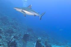Grå vit haj som är klar att anfalla en dykare Royaltyfri Fotografi