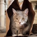 Grå & vit katt i en brun pappers- påse arkivfoton