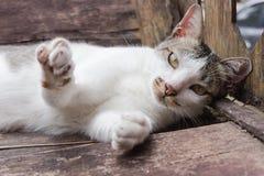 grå white för katt Arkivfoto
