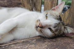 grå white för katt Royaltyfri Fotografi