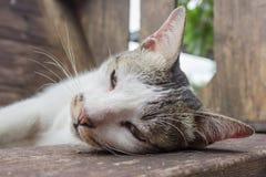 grå white för katt Fotografering för Bildbyråer