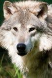 grå wolf Royaltyfria Foton