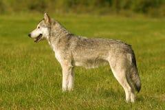 grå wolf Arkivbild