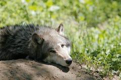 grå wolf royaltyfri fotografi