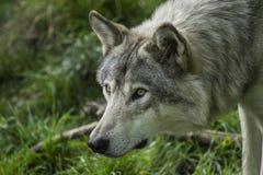 grå wolf arkivfoton