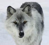 grå wolf royaltyfri bild