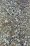 Grå wood textur med mossan Royaltyfri Fotografi