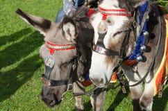 Gråa brittiska sjösidaåsnor som används för åsna, rider, UK Arkivfoton