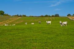 Gråa cattles som äter på fältet Arkivbilder
