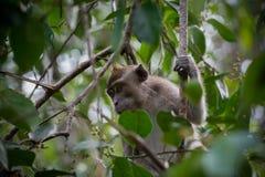 Gråa cynomolgusapor som döljas i de gröna sidorna av ett högväxt träd (Indonesien) Arkivfoto