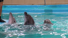 Gråa delfin ser ut ur vatten nära kanten av pölen som ska daltas av instruktören arkivfilmer
