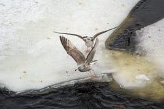 Gråa fiskmåsar på kanten av isen Arkivfoton