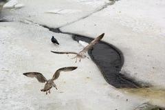 Gråa fiskmåsar på kanten av isen Arkivfoto