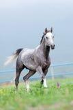 Gråa hästkörningar i ängen royaltyfri fotografi
