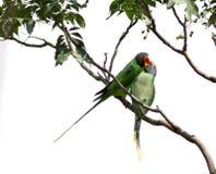 Gråa hövdade papegojor arkivbild